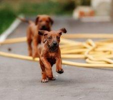 Породы собак с описанием и фото. - Страница 2 1483608667_rhodesian-ridgebac-dog-photo-7