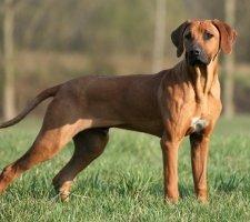 Породы собак с описанием и фото. - Страница 2 1483608705_rhodesian-ridgebac-dog-photo-6