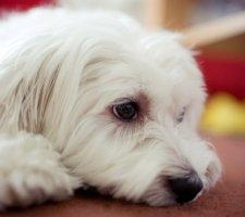 Породы собак с описанием и фото. - Страница 2 1483632046_maltese-dog-photo-1