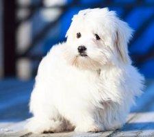 Породы собак с описанием и фото. - Страница 2 1483632046_maltese-dog-photo-9