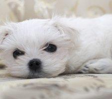 Породы собак с описанием и фото. - Страница 2 1483632051_maltese-dog-photo-8