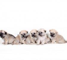 Породы собак с описанием и фото. - Страница 2 1483632064_maltese-dog-photo-5