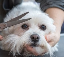 Породы собак с описанием и фото. - Страница 2 1483632090_maltese-dog-photo-3