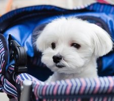 Породы собак с описанием и фото. - Страница 2 1483632090_maltese-dog-photo-6
