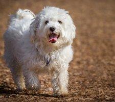 Породы собак с описанием и фото. - Страница 2 1483632098_maltese-dog-photo-4