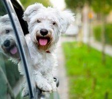 Породы собак с описанием и фото. - Страница 2 1483632111_maltese-dog-photo-7