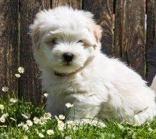 Породы собак с описанием и фото. - Страница 2 1483632124_maltese-dog-photo-2
