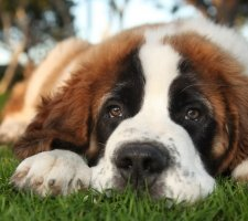 Породы собак с описанием и фото. - Страница 2 1483706872_saint-bernard-dog-photo-3