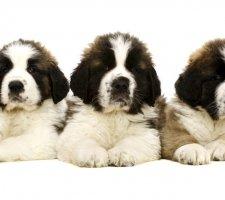 Породы собак с описанием и фото. - Страница 2 1483706875_saint-bernard-dog-photo-8