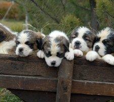 Породы собак с описанием и фото. - Страница 2 1483706890_saint-bernard-dog-photo-2