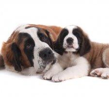 Породы собак с описанием и фото. - Страница 2 1483706892_saint-bernard-dog-photo-5