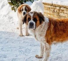 Породы собак с описанием и фото. - Страница 2 1483706897_saint-bernard-dog-photo-9