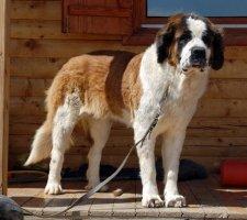 Породы собак с описанием и фото. - Страница 2 1483706922_saint-bernard-dog-photo-7
