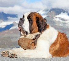 Породы собак с описанием и фото. - Страница 2 1483706934_saint-bernard-dog-photo-6