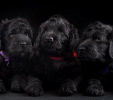 Породы собак с описанием и фото. - Страница 2 1484752206_black-russian-terrier-dog-photo-2