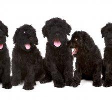 Породы собак с описанием и фото. - Страница 2 1484752225_black-russian-terrier-dog-photo-5