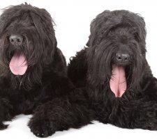 Породы собак с описанием и фото. - Страница 2 1484752236_black-russian-terrier-dog-photo-8