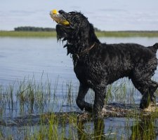 Породы собак с описанием и фото. - Страница 2 1484752253_black-russian-terrier-dog-photo-6