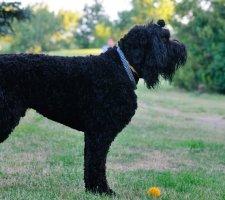 Породы собак с описанием и фото. - Страница 2 1484752288_black-russian-terrier-dog-photo-1