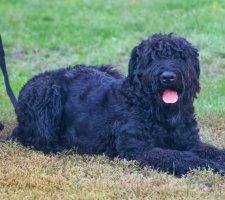 Породы собак с описанием и фото. - Страница 2 1484752312_black-russian-terrier-dog-photo-9