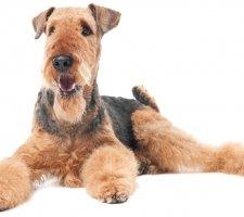 Породы собак с описанием и фото. - Страница 2 1484762641_airedale-terrier-dog-photo-5