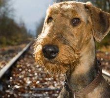 Породы собак с описанием и фото. - Страница 2 1484762728_airedale-terrier-dog-photo-6