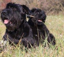 Породы собак с описанием и фото. - Страница 2 1484771881_giant-schnauzer-dog-photo-2