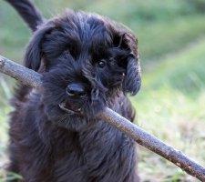 Породы собак с описанием и фото. - Страница 2 1484771884_giant-schnauzer-dog-photo-5