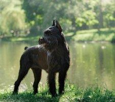 Породы собак с описанием и фото. - Страница 2 1484771885_giant-schnauzer-dog-photo-3