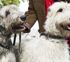 Породы собак с описанием и фото. - Страница 2 1484771893_giant-schnauzer-dog-photo-7