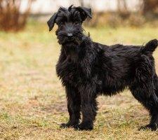 Породы собак с описанием и фото. - Страница 2 1484771899_giant-schnauzer-dog-photo-9