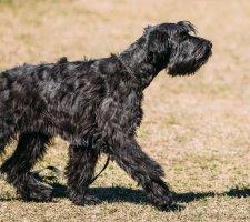 Породы собак с описанием и фото. - Страница 2 1484771905_giant-schnauzer-dog-photo-4