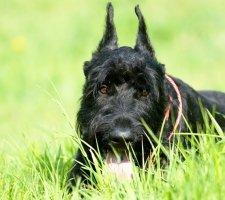 Породы собак с описанием и фото. - Страница 2 1484771913_giant-schnauzer-dog-photo-1