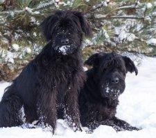 Породы собак с описанием и фото. - Страница 2 1484771923_giant-schnauzer-dog-photo-8