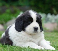 Породы собак с описанием и фото. - Страница 2 1485018751_newfoundlan-dog-photo-8