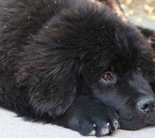 Породы собак с описанием и фото. - Страница 2 1485018754_newfoundlan-dog-photo-7