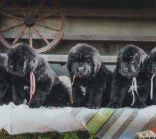 Породы собак с описанием и фото. - Страница 2 1485018773_newfoundlan-dog-photo-2