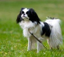 Породы собак с описанием и фото. - Страница 2 1485021208_japanese-chin-dog-photo-6