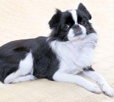 Породы собак с описанием и фото. - Страница 2 1485021222_japanese-chin-dog-photo-4