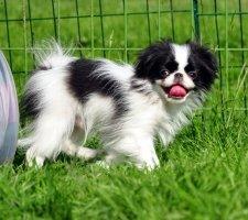 Породы собак с описанием и фото. - Страница 2 1485021230_japanese-chin-dog-photo-2