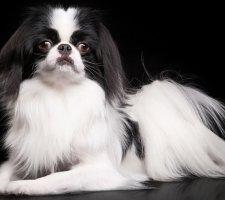 Породы собак с описанием и фото. - Страница 2 1485021248_japanese-chin-dog-photo-1