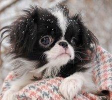 Породы собак с описанием и фото. - Страница 2 1485021280_japanese-chin-dog-photo-7