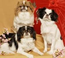 Породы собак с описанием и фото. - Страница 2 1485021281_japanese-chin-dog-photo-9