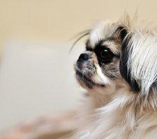 Породы собак с описанием и фото. - Страница 2 1485021290_japanese-chin-dog-photo-8