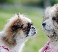 Породы собак с описанием и фото. - Страница 2 1485021298_japanese-chin-dog-photo-3