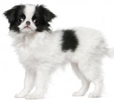 Породы собак с описанием и фото. - Страница 2 1485021305_japanese-chin-dog-photo-5