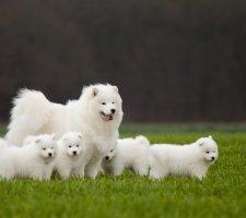 Породы собак с описанием и фото. - Страница 2 1485024021_samoyed-dog-photo-7