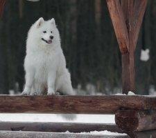 Породы собак с описанием и фото. - Страница 2 1485024025_samoyed-dog-photo-4