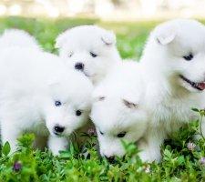 Породы собак с описанием и фото. - Страница 2 1485024032_samoyed-dog-photo-2
