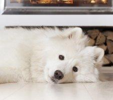 Породы собак с описанием и фото. - Страница 2 1485024045_samoyed-dog-photo-3